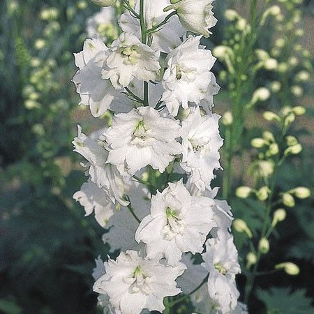 Delphinium x cultorum Pacific Giants Galahad G-9