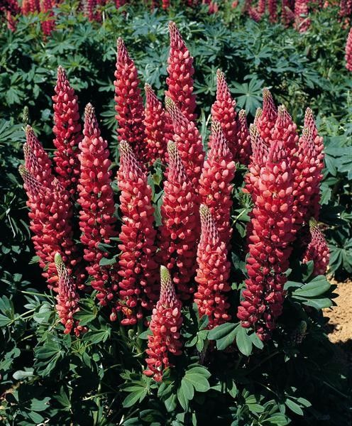 Lupinus polyphyllus Gallery Red Shades G-9