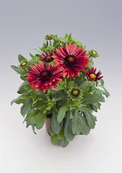 Gaillardia aristata Arizona Red Shades G-9