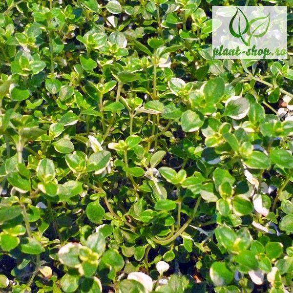 Thymus pulegioides Foxley G-9