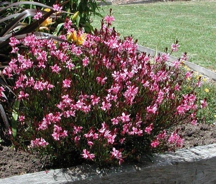 Gaura lindheimeri Pink Dwarf G-9