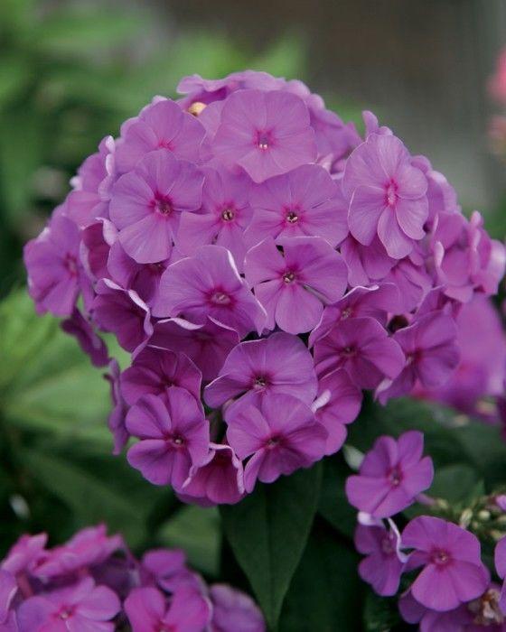 Phlox paniculata Flame Purple G-9