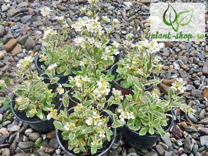 Arabis alpina caucasica variegata G-9
