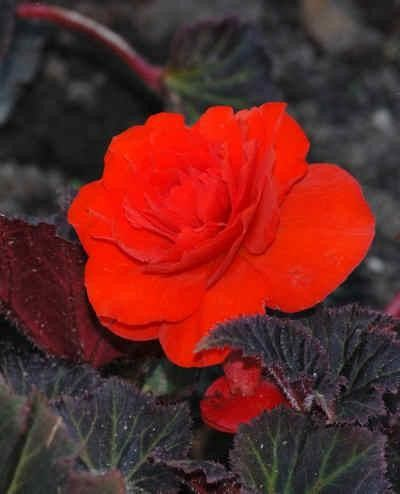 Begonia tuberhybrida 'Nonstop Mocca Deep Orange' G-9
