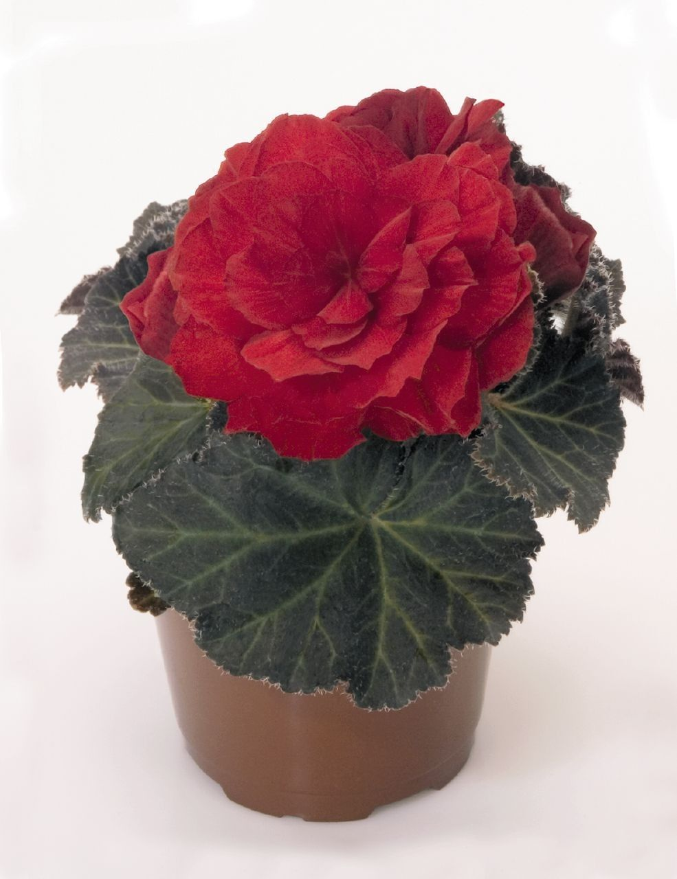 Begonia tuberhybrida 'Nonstop Mocca Scarlet' G-9