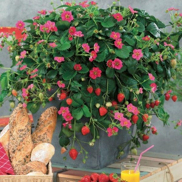 Fragaria ananassa Toscana F1 Deep Rose – G-9