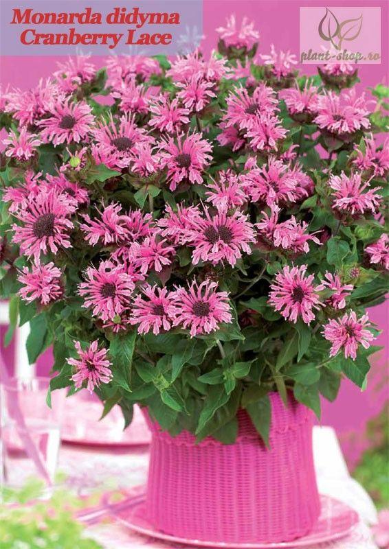Monarda didyma Cranberry Lace G-9