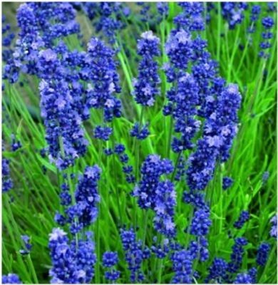 Lavandula angustifolia 'Blue Scent Early Blue'