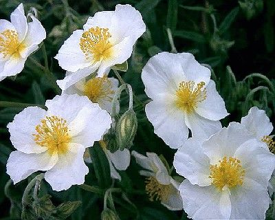 Helianthemum nummularium 'The Bride'