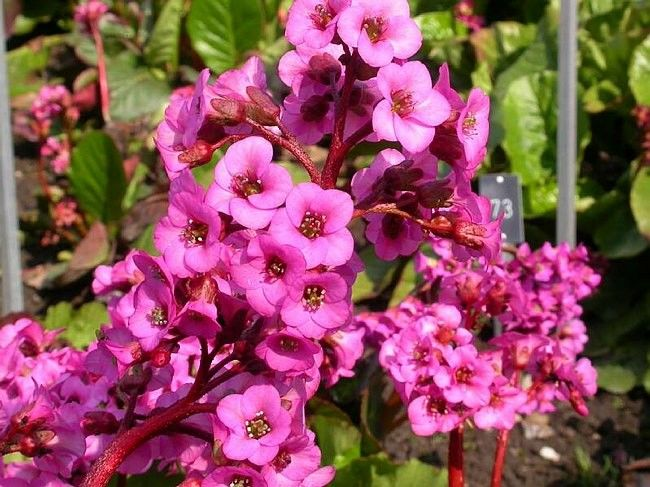 Bergenia cordifolia Rotblum G-9
