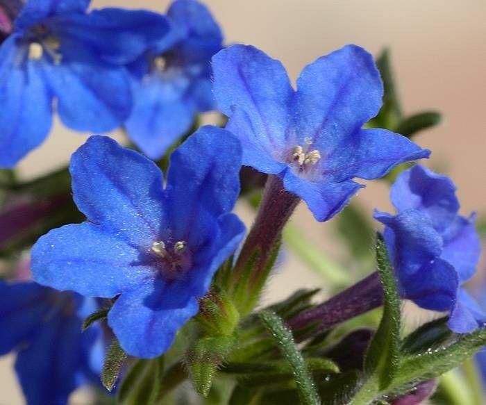 Lithodora diffusa Heavenly Blue G-9
