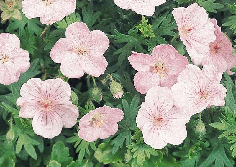 Geranium sanguineum Vision Pink G-9