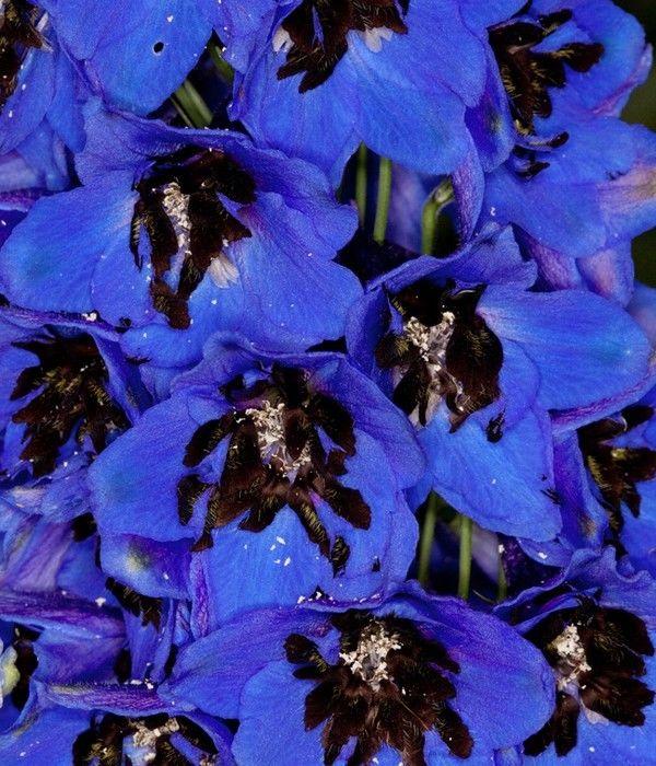 Delphinium cultorum Magic Fountain Dark Blue Black Bee G-9