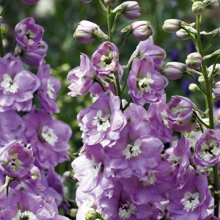 Delphinium cultorum Magic Fountain Rose Blush White Bee G-9
