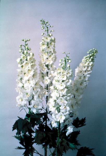 Delphinium cultorum Magic Fountain White G-9