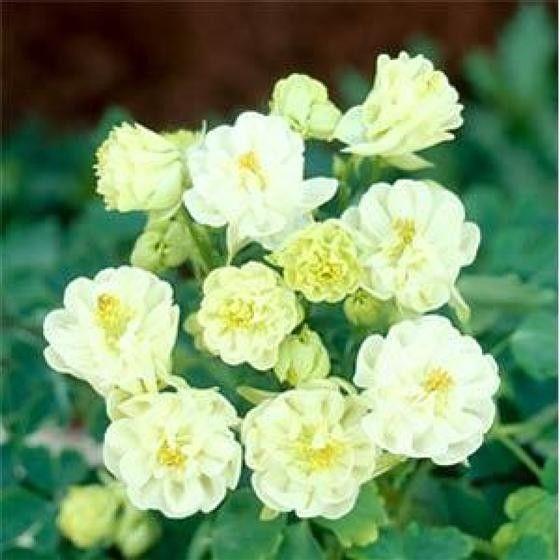Aquilegia vulgaris Winky Double White & White G-9