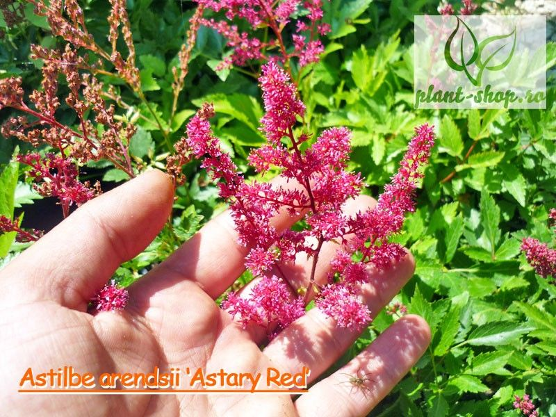 Astilbe arendsii Astary Red G-9