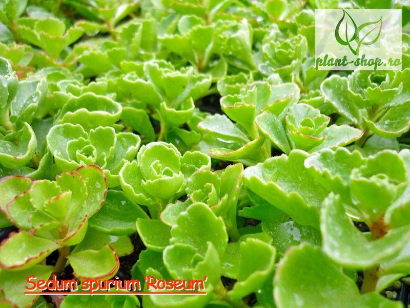 Sedum spurium 'Roseum' Pack 10 plante