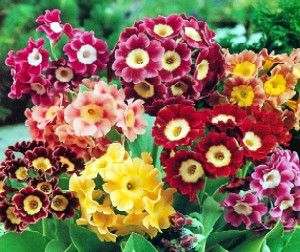 Primula x pubescens mix G-9