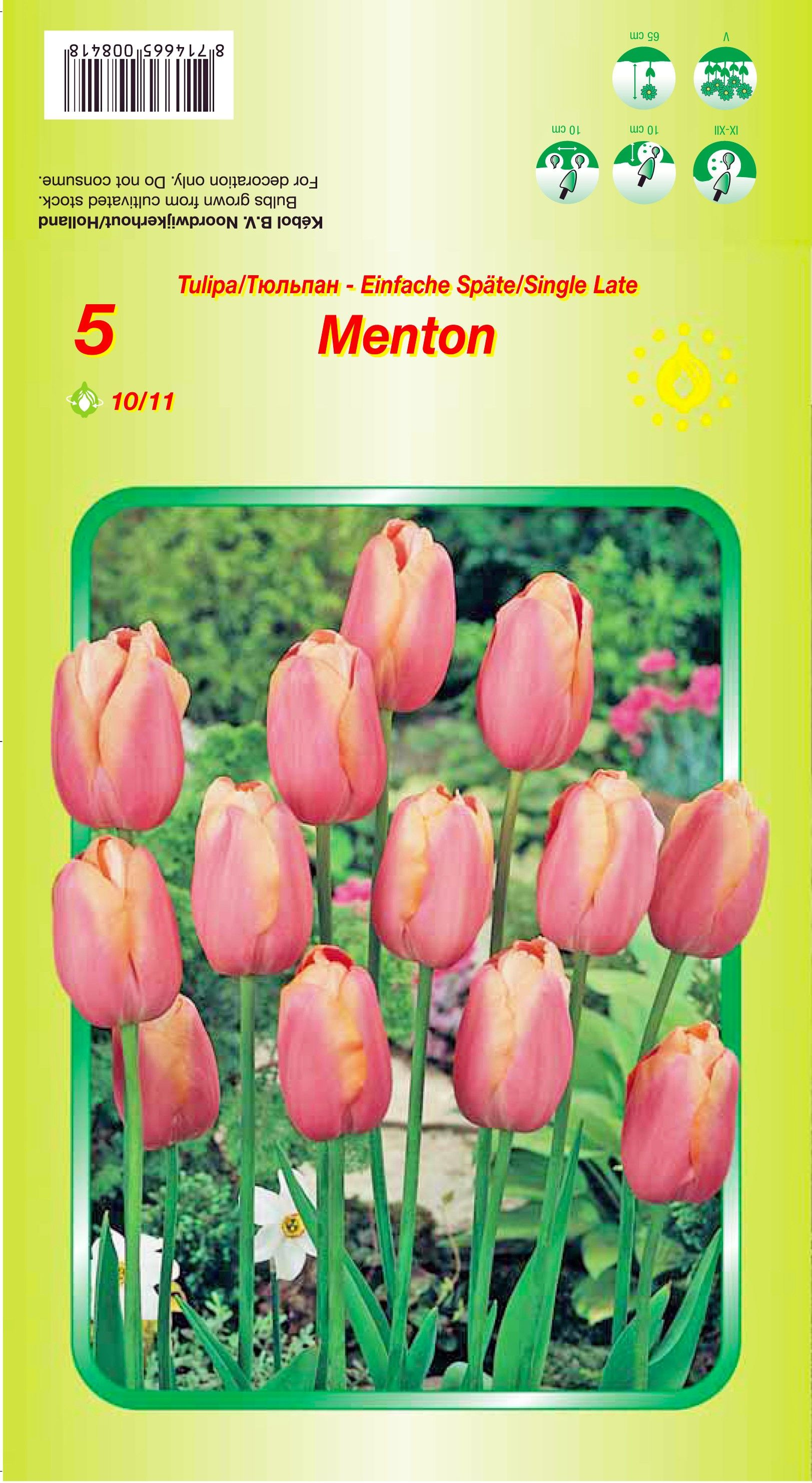 Bulbi de lalele Menton - 5 bulbi