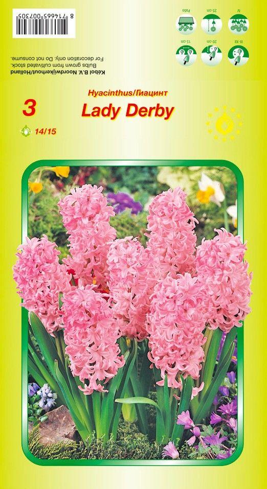 Bulbi de zambile - Hyacinthus Lady Derby - 3 bulbi