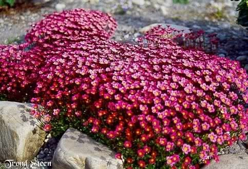 Saxifraga x arendsii Saxony Red G-12