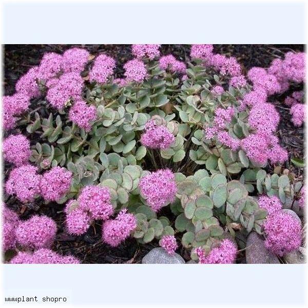 Sedum sieboldii pack 10 plante