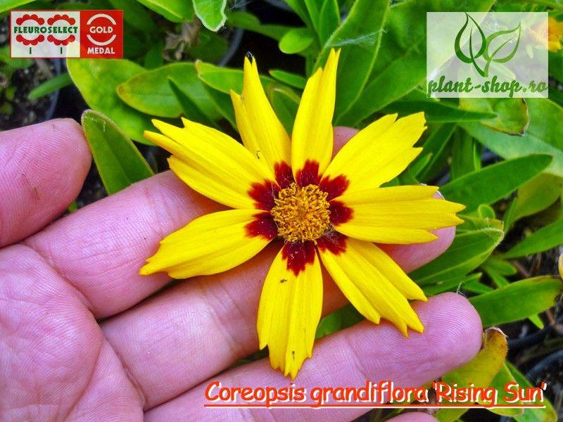 Coreopsis grandiflora Rising Sun G-9