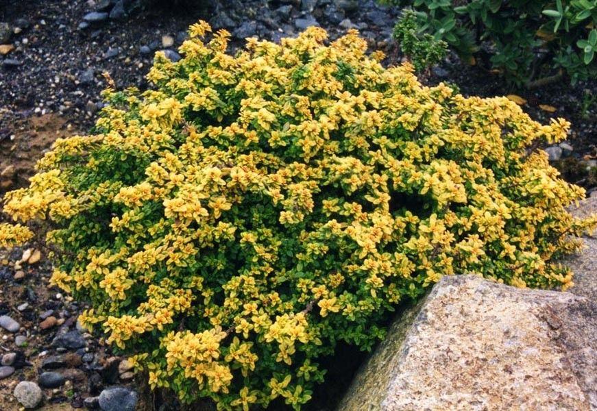 Thymus citriodorus Aureus G-9