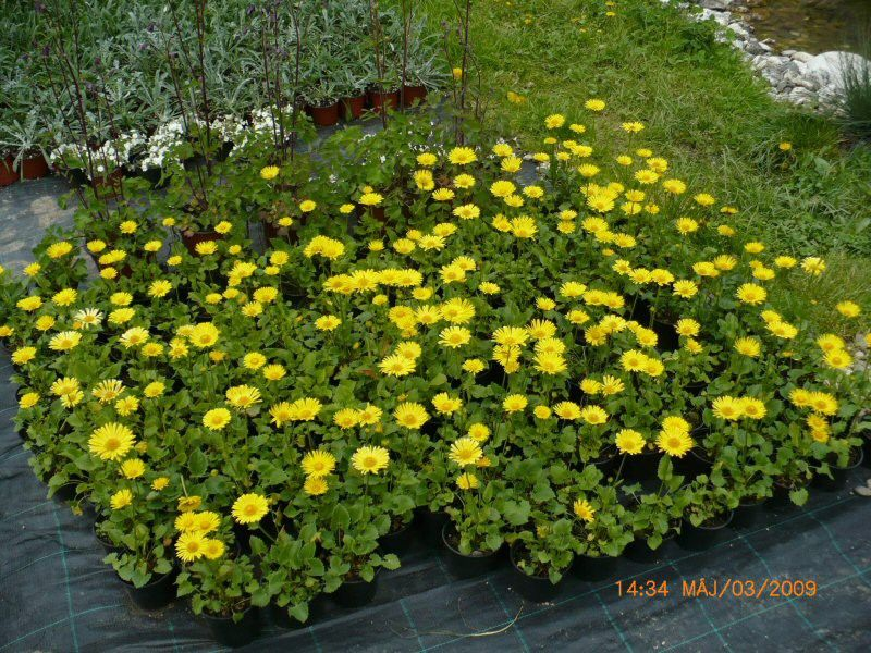 Doronicum orientale Little Leo G-9