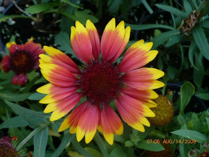 Gaillardia aristata Arizona Sun G-9