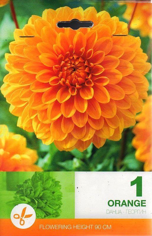 Dahlia decorative Orange - 1 bulb