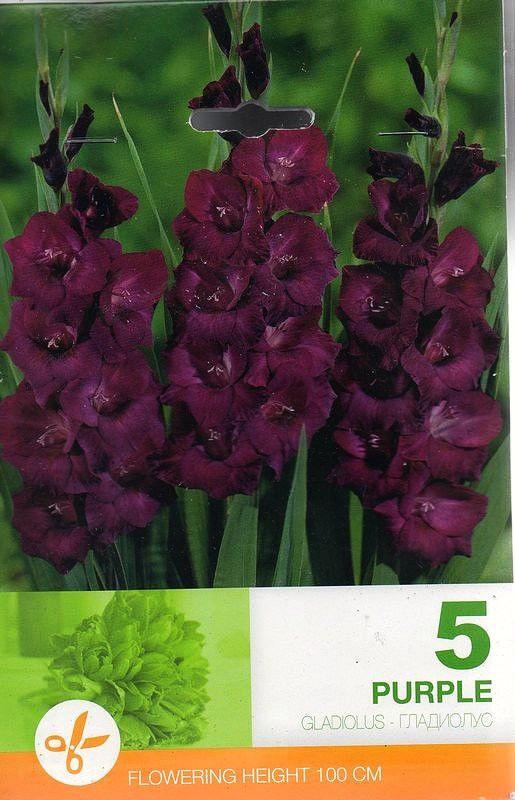 Gladiole bulbi Purple - 5 bulbi