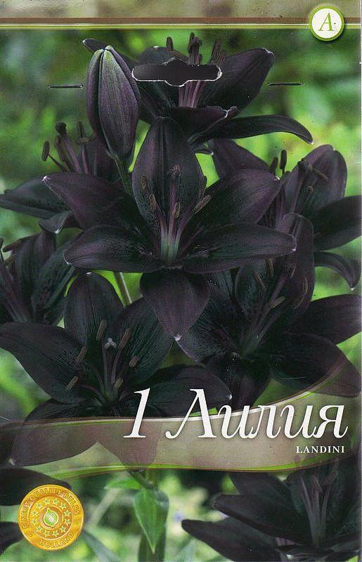 Lilium asiatic Landini - 1 bulb