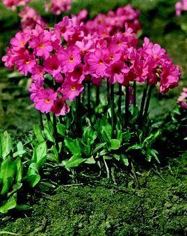 Primula rosea Grandiflora G-9