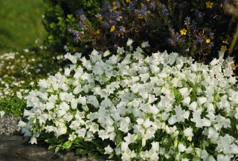 Campanula cochlearifolia Jingle White G-9