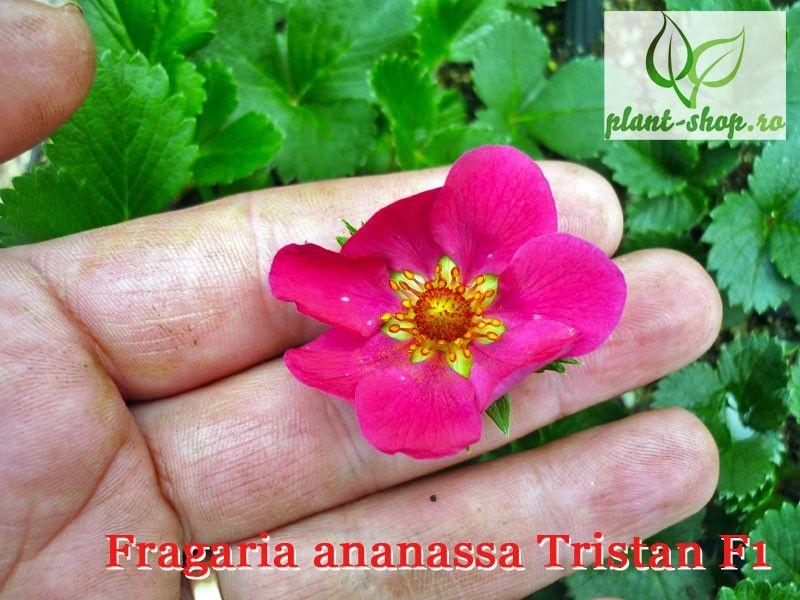 Fragaria ananassa Tristan F1 – G-9