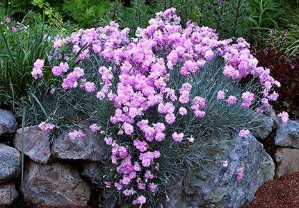 Dianthus plumarius Double Rose G-9