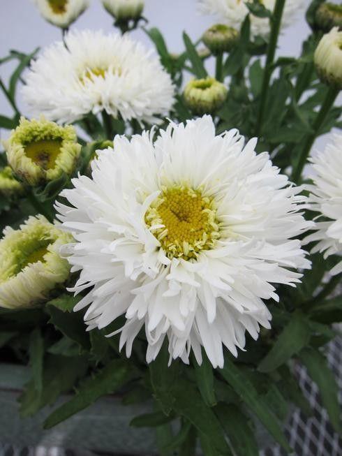 Leucanthemum x superbum Laspider G-9