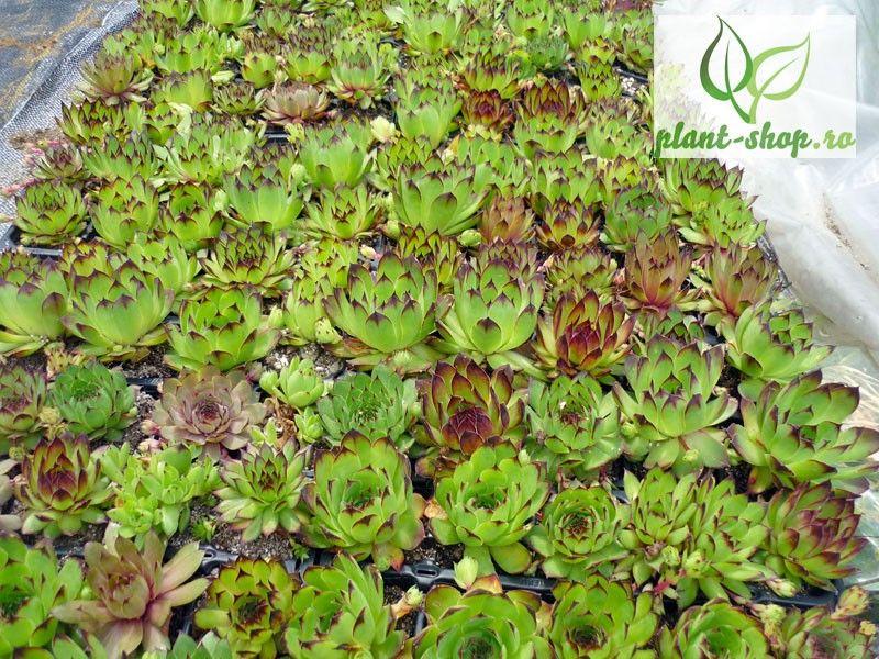 Sempervivum mix Pack 10 plante