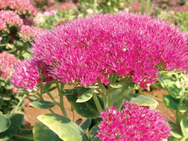 Sedum spectabile Brilliant G-9