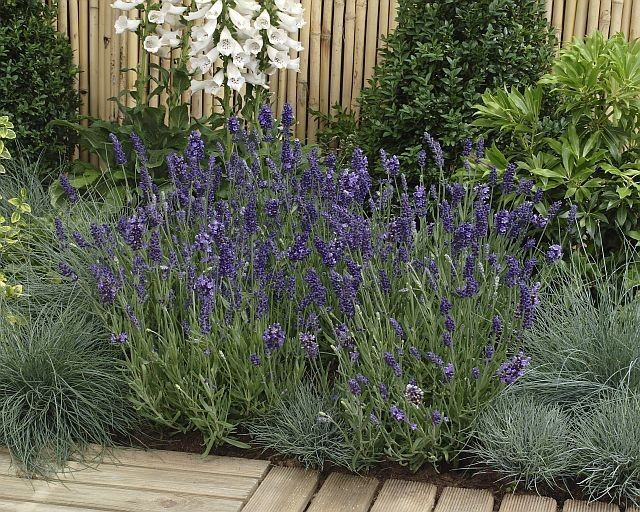 Lavandula angustifolia Essence Purple G-9