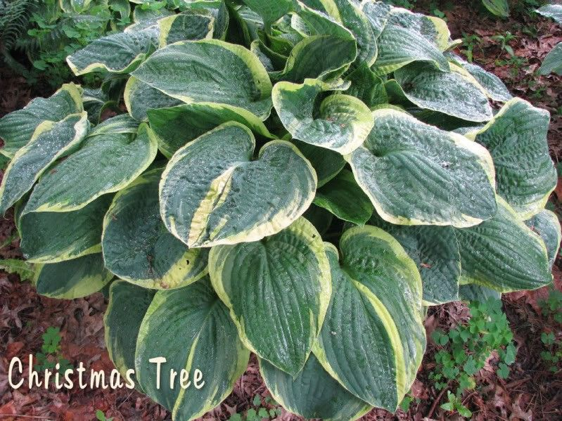 Hosta Christmas Tree G-11