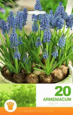 Muscari armeniacum 20 bulbi