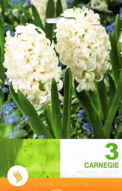 Bulbi de zambile - Hyacinthus Carnegie - 3 bulbi