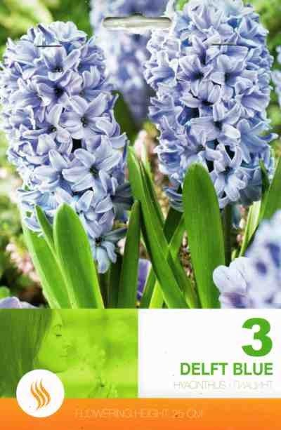 Bulbi de zambile - Hyacinthus Delft Blue - 3 bulbi