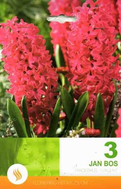 Bulbi de zambile - Hyacinthus Jan Bos - 3 bulbi