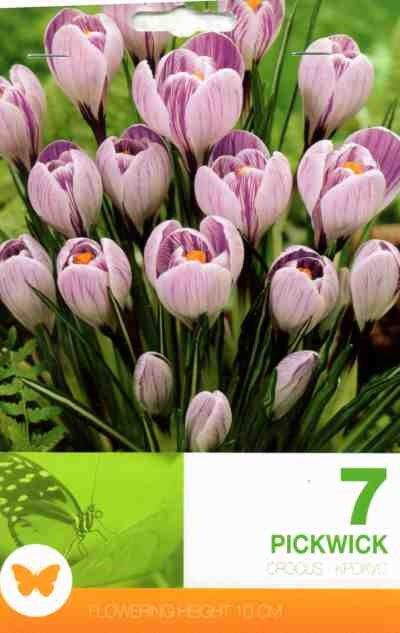 Bulbi de branduse - Crocus vernus Pickwick - 7 bulbi