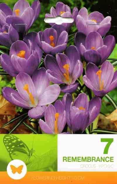 Bulbi de branduse - Crocus vernus Remembrance - 7 bulbi