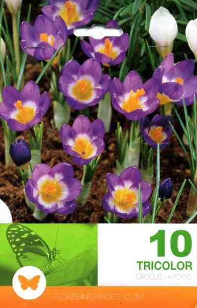 Bulbi de branduse - Crocus sieberi Tricolor - 10 bulbi